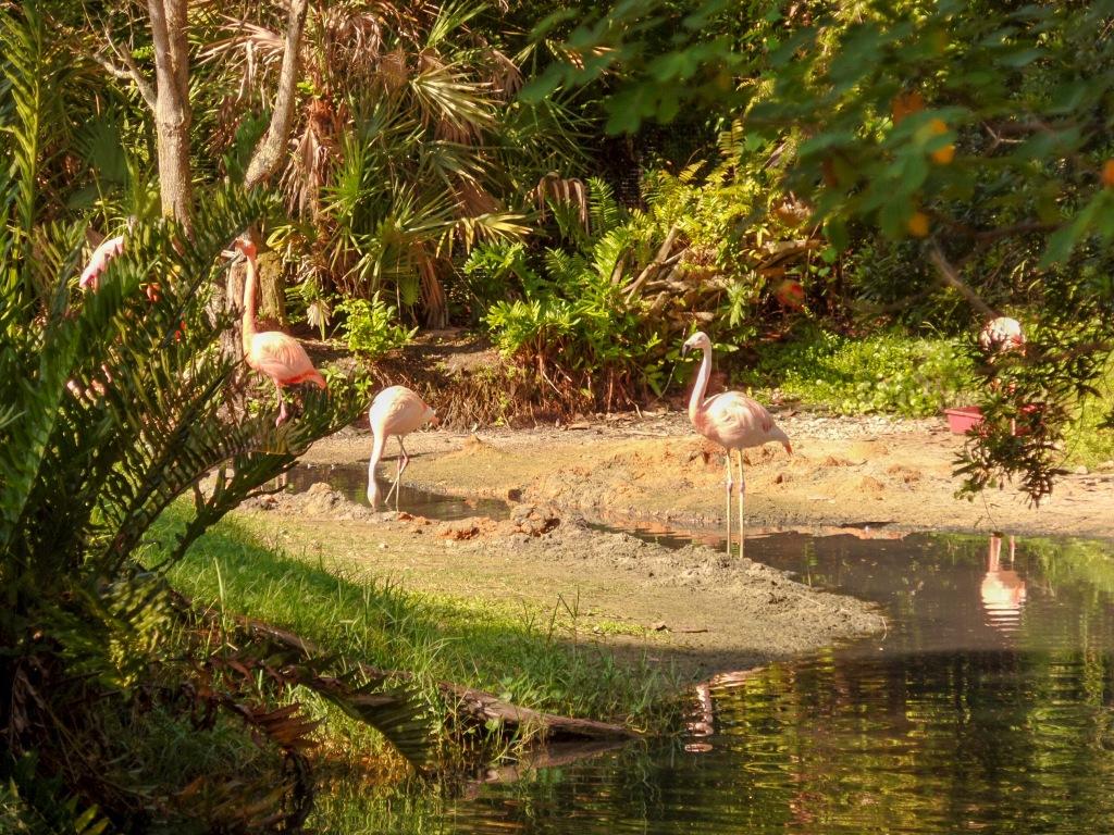 flamingos at a pond in Brevard Zoo. Florida